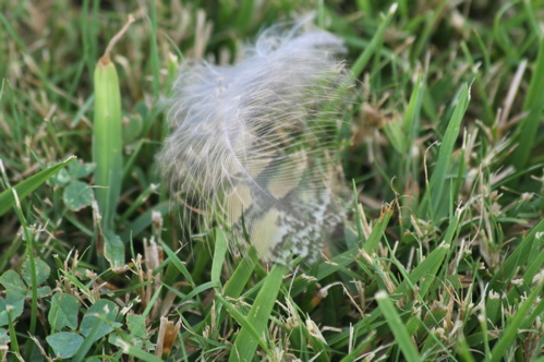 chicken-feather-on-grass